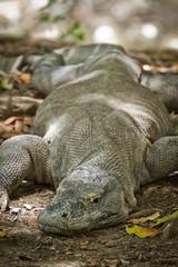 komodo dragon in natural habitat