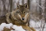 European grey wolf (Canis lupus lupus) poster