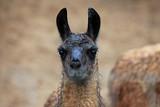 Bild von einem Alpaka Tier. Image of an alpaca animal poster