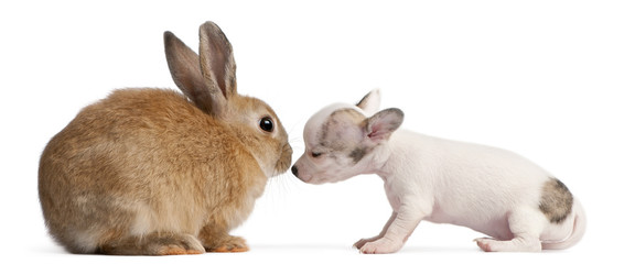 Chihuahua puppy, 10 weeks old, sniffing rabbit