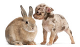 Chihuahua interacting with a rabbit i poster