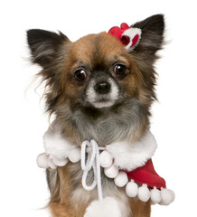 Chihuahua dressed in Santa outfit, 2 years old
