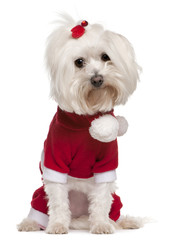 Maltese wearing Santa outfit, 4 years old, sitting
