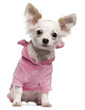 Chihuahua puppy wearing pink, 5 months old, sitting