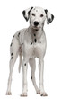 Dalmatian, 18 months old, standing