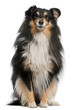 Shetland Sheepdog, 7 years old, sitting