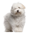 Coton de Tulear puppy, 4 months old, standing