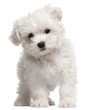 Maltese puppy, 2 months old, standing