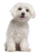 Maltese puppy, 9 months old, sitting