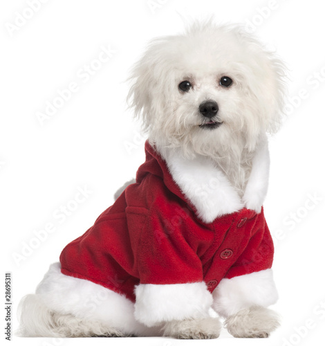 Bolognese puppy in Santa outfit, 6 months old, sitting