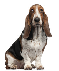Bassett Hound, 6 years old, sitting