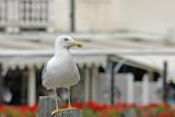 Seagull Venetian yellow beak waiting to stand out in flight poster