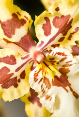 Close-up of orchid flower in Keukenhof