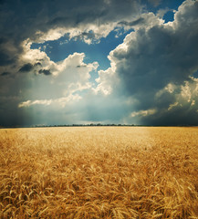field with gold ears of wheat under dramatic sky