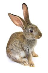 Happy New Year of rabbit