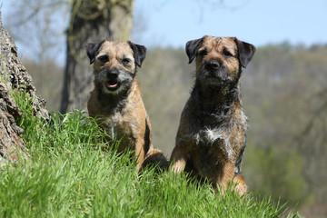 couple de chiens de race border terrier assis de face