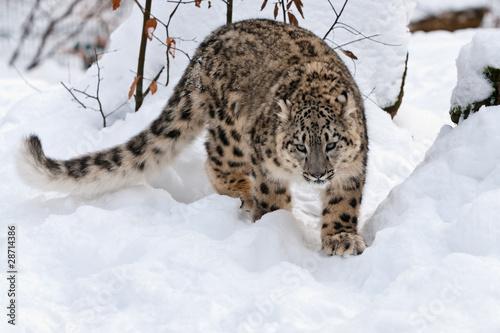 Papiers peints Leopard Schleichender Schneeleopard