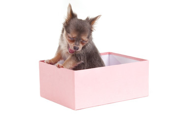 Sleepy Chihuahua puppy inside the pink gift box