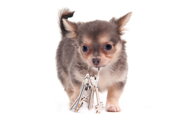 Chihuahua puppy carrying the bunch of silver keys