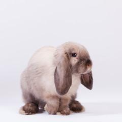 Кролик карликовый сиамский