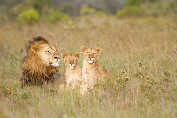 Young lion cubs and father