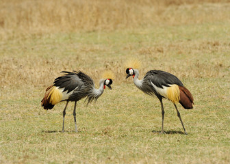 Grey Crowned Crane Belearica regulorum gibbericeps