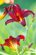 Red lilies in gatrden close up