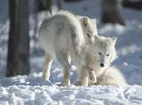 Fototapeta bezdroża - śnieg - Wilki
