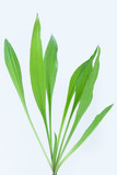 Plantain herb poster