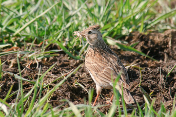 Skylark Alauda arvensis is gathering nest material in its bill