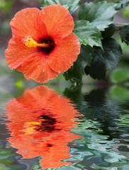 fleur orange d'hibiscus