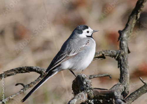 female White Wagtail Motacilla alba sitting on a dry branch