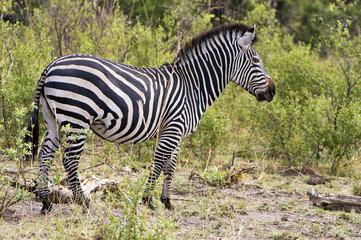 Zebra in Steppenlandschaft