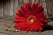 Fototapete Rot - Blume - Blume