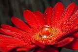 Fototapeta czerwony - różowy - Kwiat