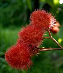 Fruits du roucou ( bixa orellana)