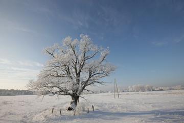 winter landscape with oak tree
