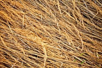 Grunge texture of dry grass