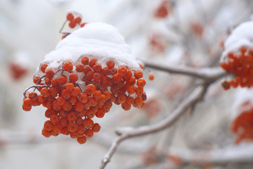 Rowan bunch on tree branch in winter with snow