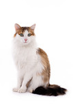 Longhaired housecat poster