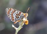 papillon, mélitée du plantain poster