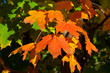 Orange, Red, Yellow Maple Leaves on Tree Fall Autumn