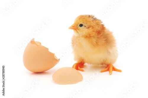 Staande foto Kip Chicken and an egg shell