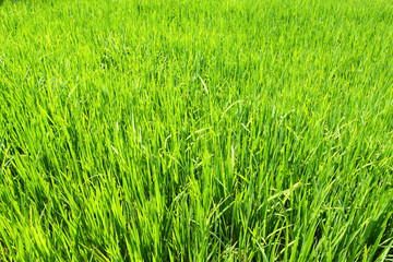 Grown green paddy field, rice in Thailand