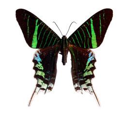 Urania Moth isolated on white