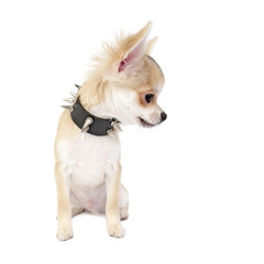 Chihuahua puppy with studded collar isolated