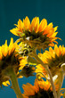 Cluster of Sunflowers on Blue Background