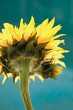 Yellow Sunflower Against a Blue Background