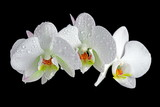 White orchid with drop of dew