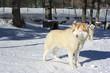 Cani da slitta in un allevamento di montagna